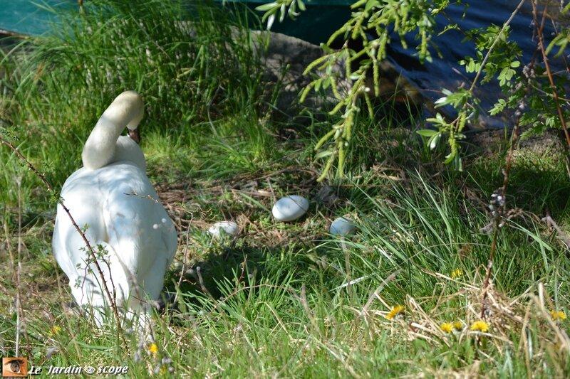 Un Cygne et ses œufs