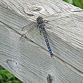 Une belle libellule bleue