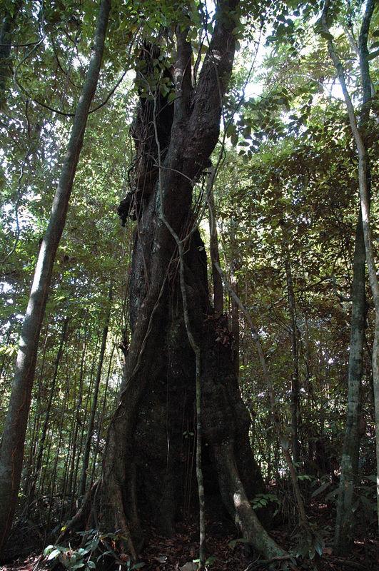 arbre amazonien