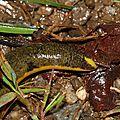Rhinatrema bivittatum - Cécilie à deux bandes