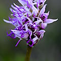 Orchis singe