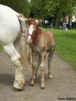 Edelweiss de Drucat, pouliche de Tamise d'Omeux et Loréat du Prieuré, née le 9 mai 2014 - - Concours élevage local - Rue (80) - 1er juin 2014