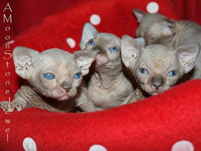 chatons sphynx