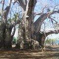 Gros baobab à Musicale plage