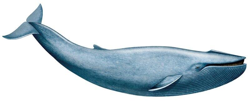 10 Baleine bleue-Telus-Blue Whale