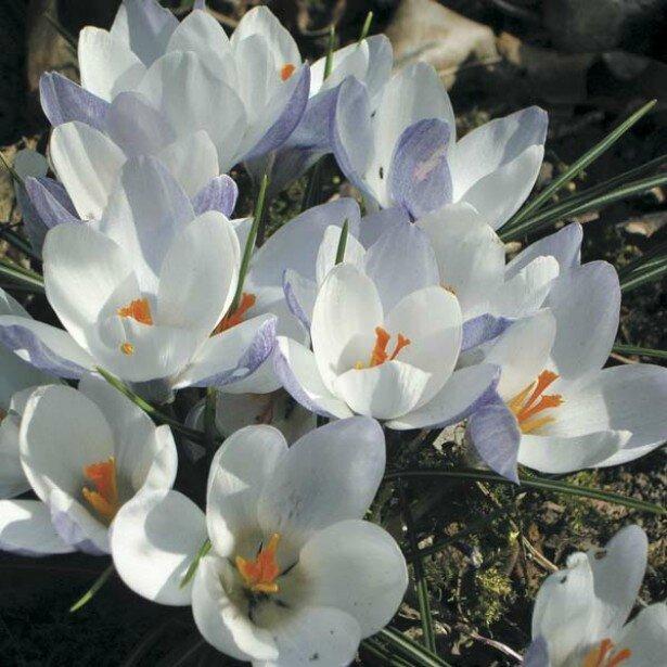 Crocus-chrysanthus-Blue-Pearl-53559-3