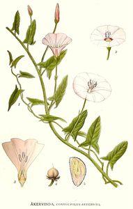 planche-liseron-akervinda-convolvulus-arvensis