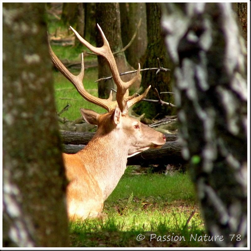 Le brame du Cerf 2009 en forêt de Rambouillet (25)