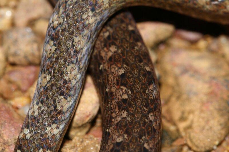Taeniophallus nicagus - Couresse à points crème