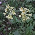 2009 04 27 Magnifique fleurs de primevères sauvages