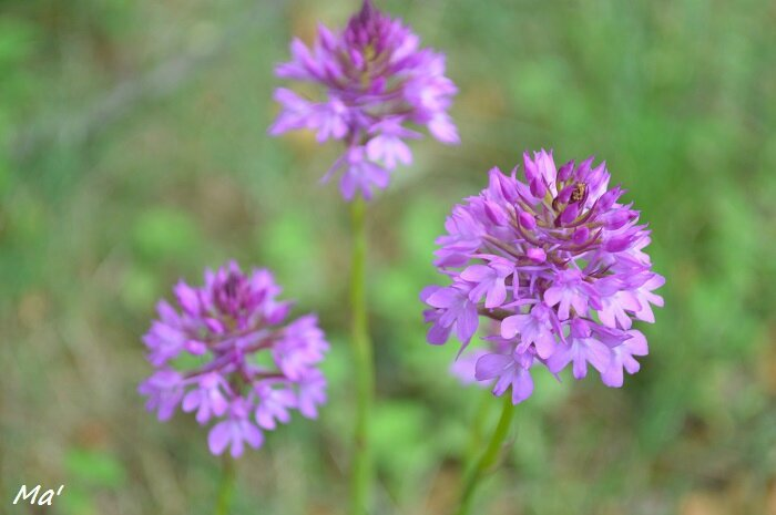 150606_orchis1