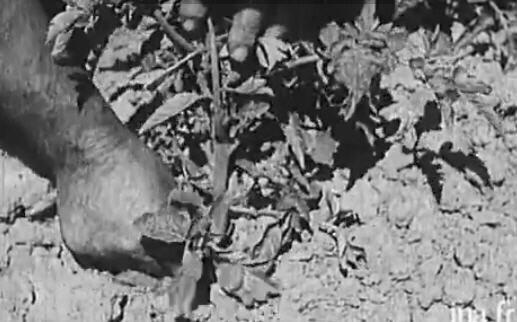 La culture de la tomate en 1930 vid o le petit jardin - Quand repiquer les tomates en pleine terre ...