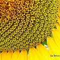 Graphic tournesol