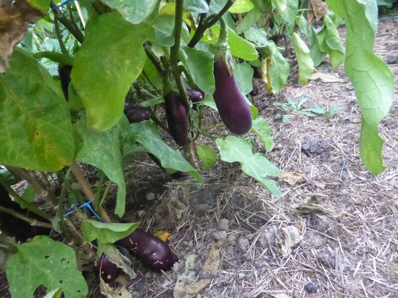 10-aubergines