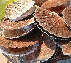 COQUILLES SAINT-JACQUEES