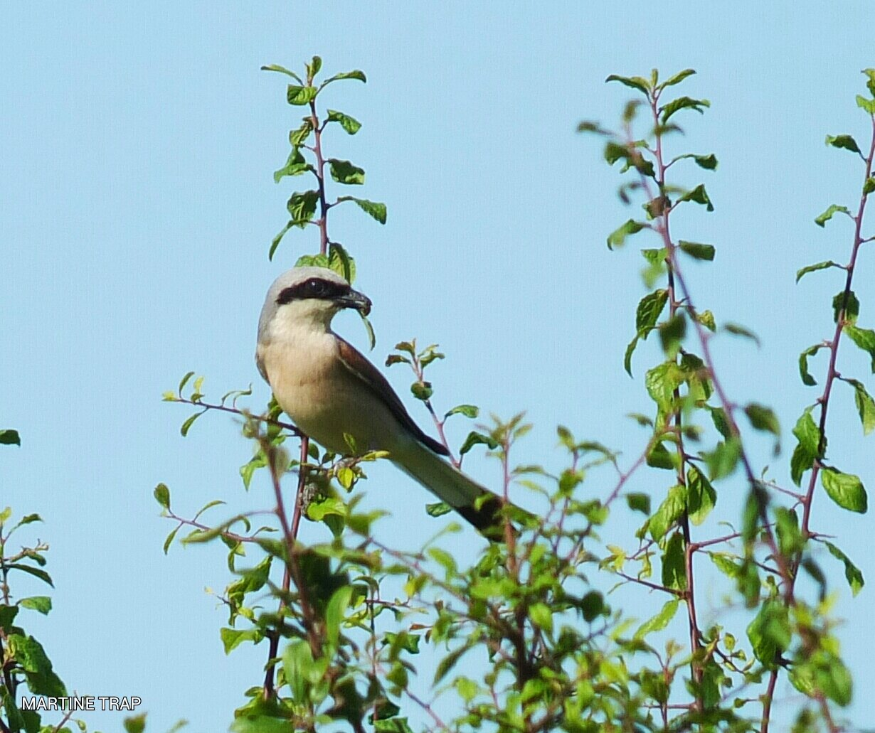 Pie-grièche écorcheur, Red-backed Shrike, Neuntöter
