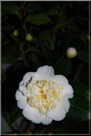 camelia 012b