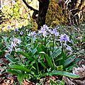 Scille lis-jacinthe (scilla lilio-hyacinthus) sur les berges du