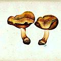 76 Cortinarius fulgens subfulgens