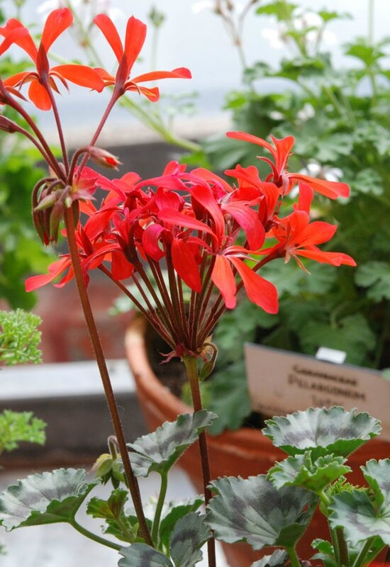 Pelargonium 'Friesdorf'