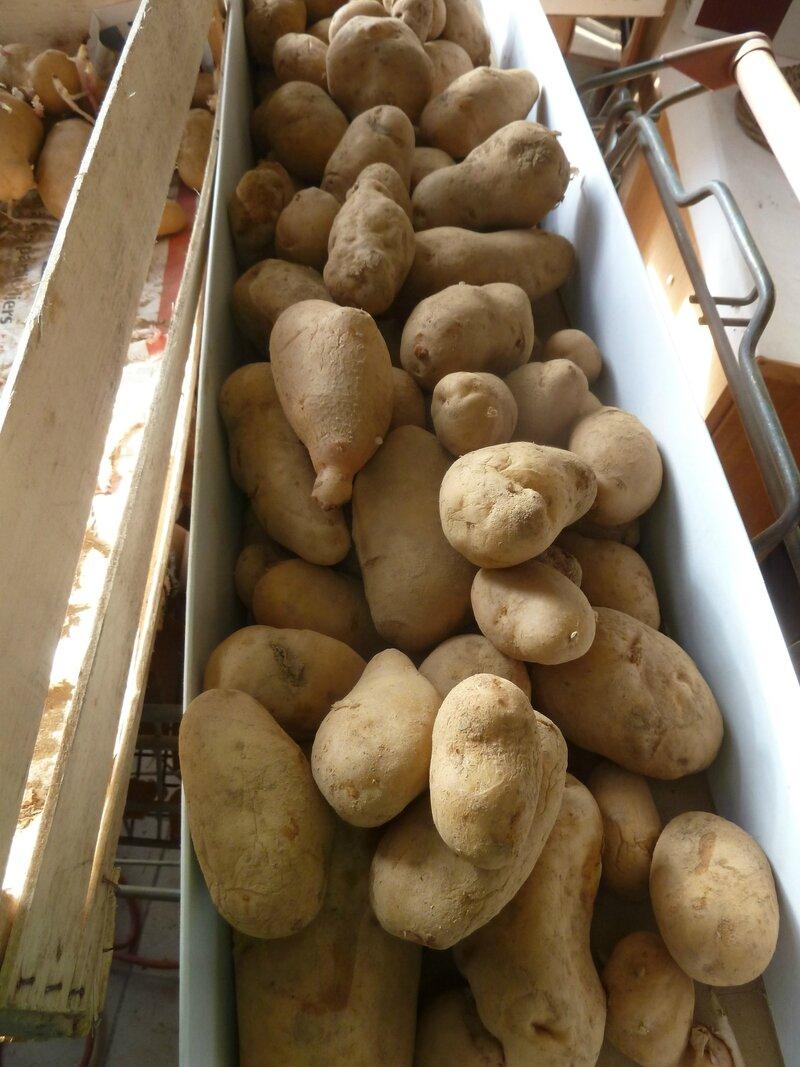 16-épichonnage des patates (6)