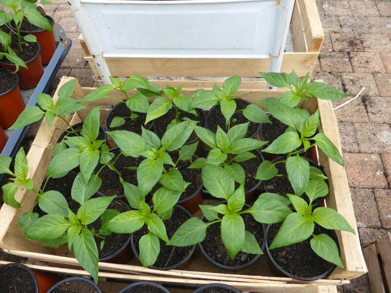 2-plants semis (6)