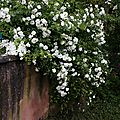 Roses blanches mur_13 22 06_5570