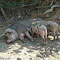 Le 18 février 2007 débute l'an chinois sous le signe du cochon