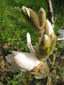 blog_magnolia