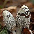 Coprin Pie - Coprinus Picaceus (1)
