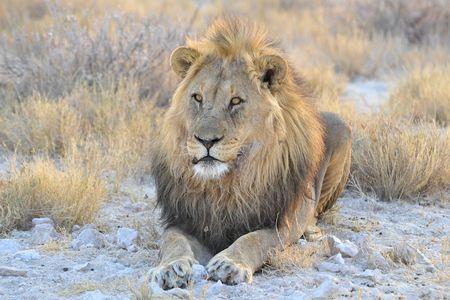 Lion, parc d'Etosha, Namibie (4)
