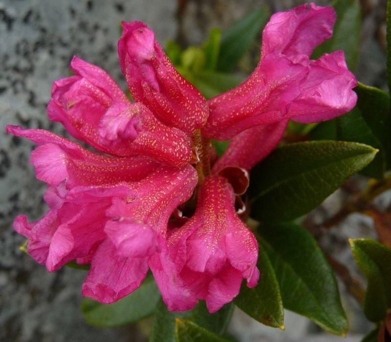 rhododendron ferrugineux les plantes au fil des randos. Black Bedroom Furniture Sets. Home Design Ideas