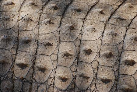 Peau___crocodile_du_Nil