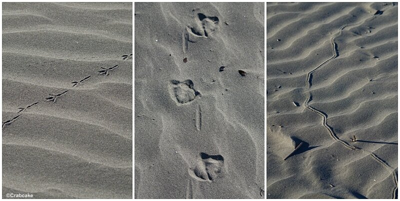Traces d'animaux Pacific Beach