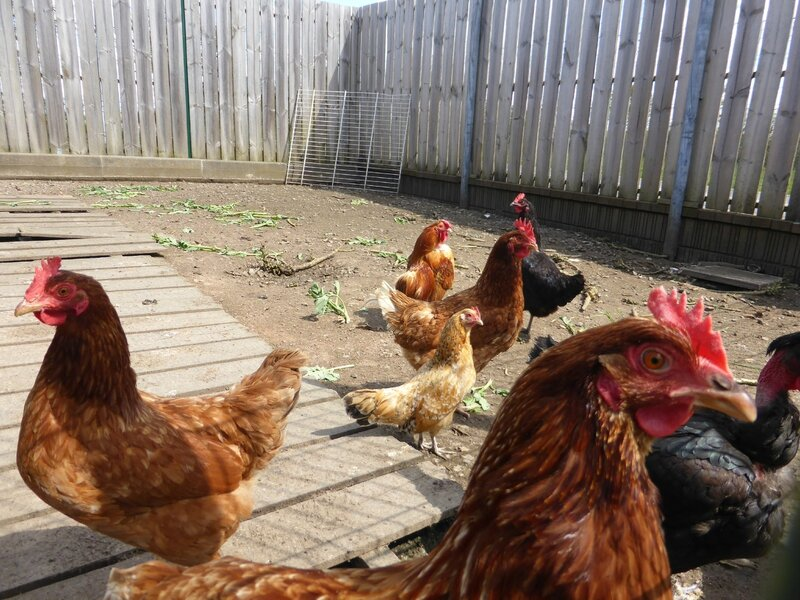 18-poules (4)