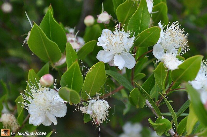 Myrte • Myrtus communis