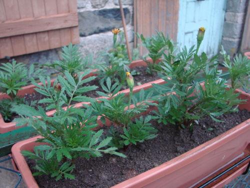 2008 06 08 Mes oeillets d'Inde en jardinière qui j'ai repiquer il y a 2 jours
