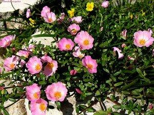pink_1123_grasse