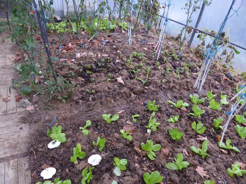 10-serre, salade, céléri, tomates (1)
