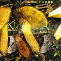 Boletus_ornatipes_1989_0710_mont