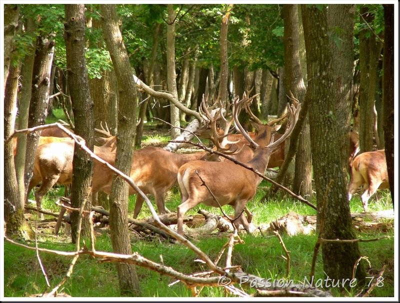 Le brame du Cerf 2009 en forêt de Rambouillet (10)