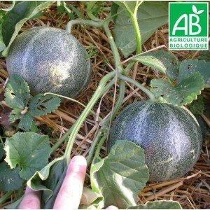 melon-petit-gris-de-rennes-bio