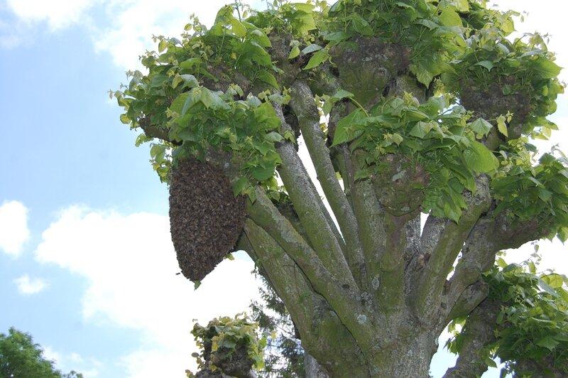 Essain d'abeilles 27 mai 2016 (6)