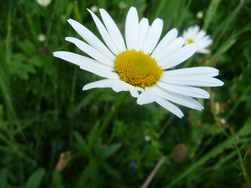 Grande marguerite les plantes au fil des randos - Fleur blanche longue tige ...