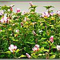 Althéas roses et blancs 160715