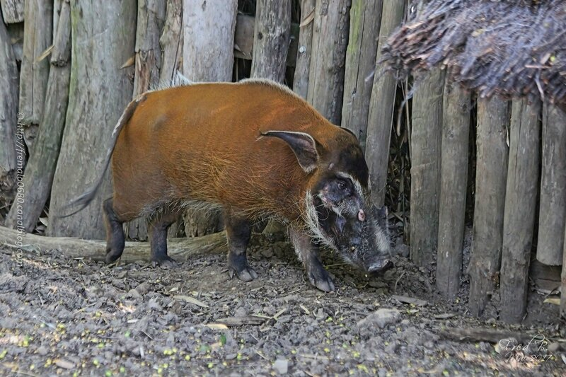 Potamochoerus porcus ♂