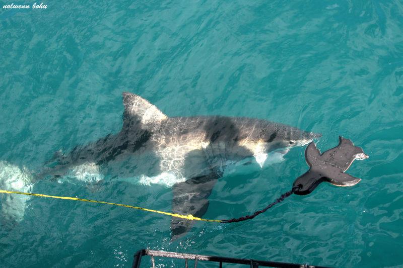 le requin blanc et l'otarie