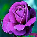 1294274982_470x353_beautiful-purple-rose-wallpaper