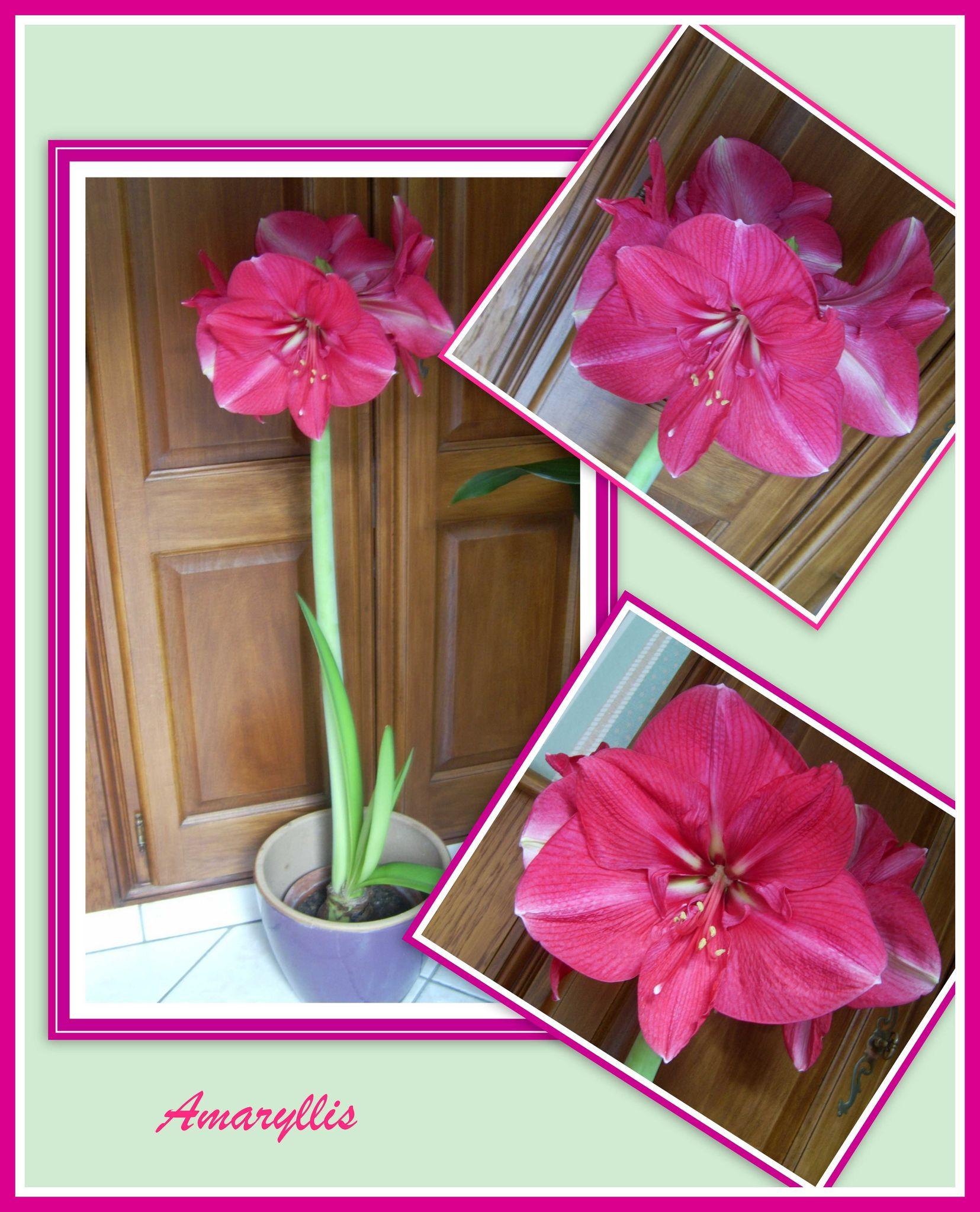 Cadeaux les passions de mam 39 france for Oignon amaryllis