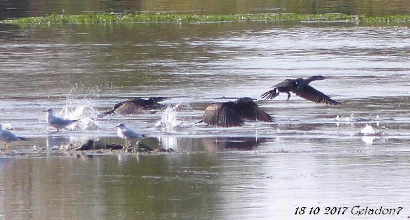 cormorans envol